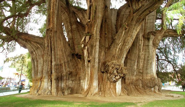 The Ahuehuete, Mexico's National Tree