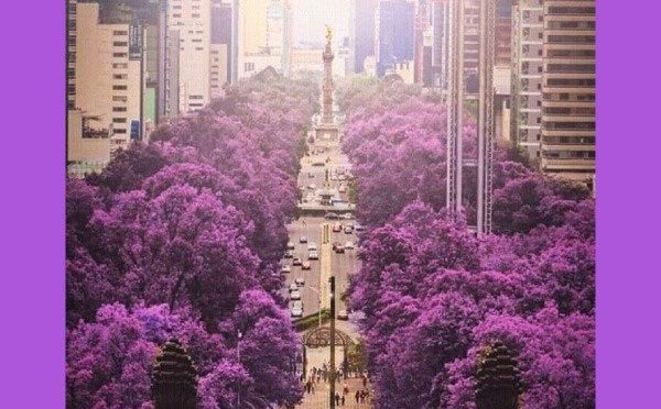 How the Jacaranda and Blue Hanami Came to Mexico –  and the Japanese Paisajista Who Made It Happen