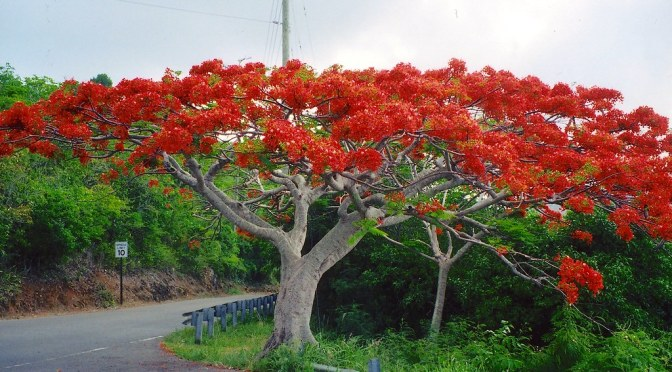 Five Fabulous Flowering Trees in Huatulco