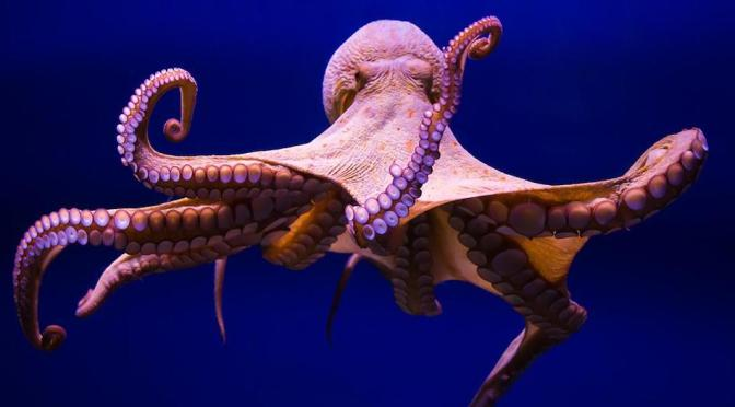 Octopus:  Intelligent and Agile, But Also Tasty and Nutritional