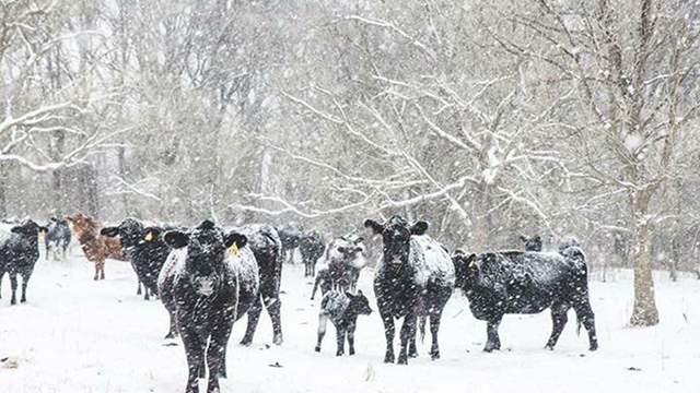 How Cattle Survive Canada's Harsh Climate