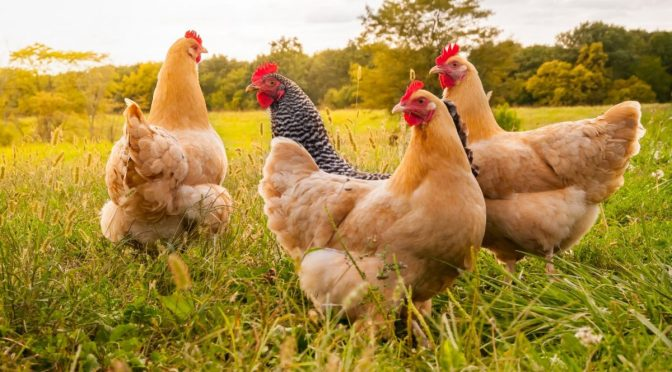 Women, Females, Chickens, Hens