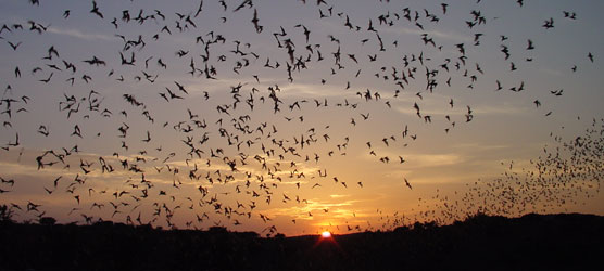 To Hibernate, or To Migrate?Bats in Mexico